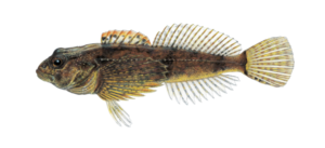 Sculpins Goby