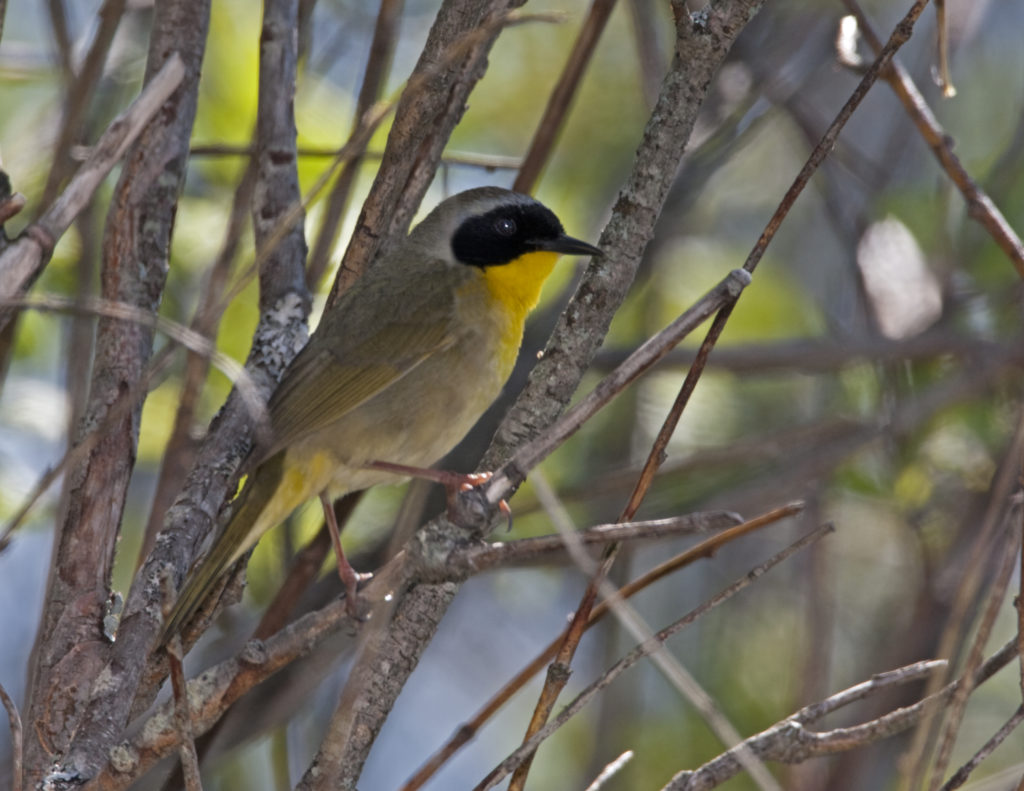 Common yellowthroat (Geothlypis trichas).