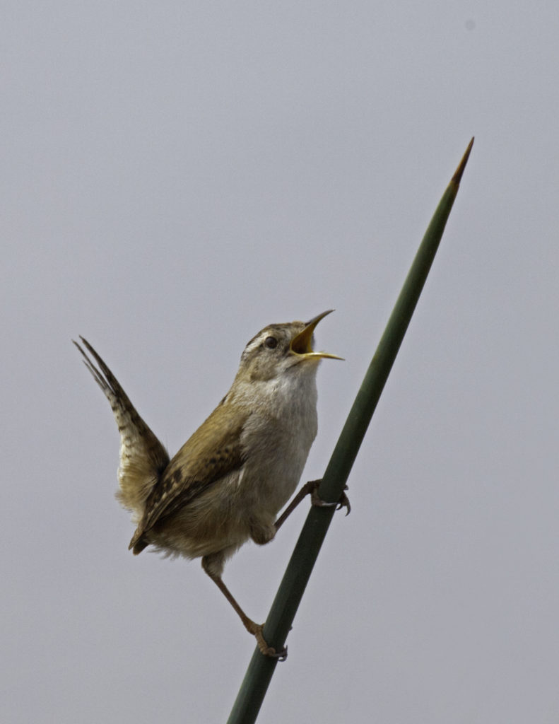 Marsh wren (Cistothorus palustris).