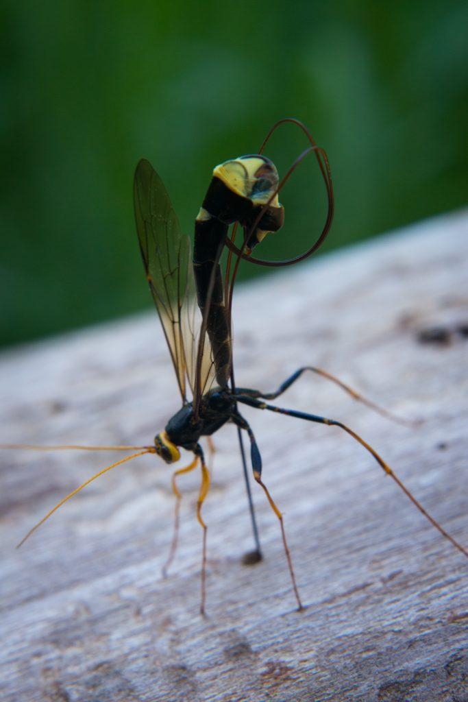 chneumon Wasp (Hymenoptera: Ichneumonidae).