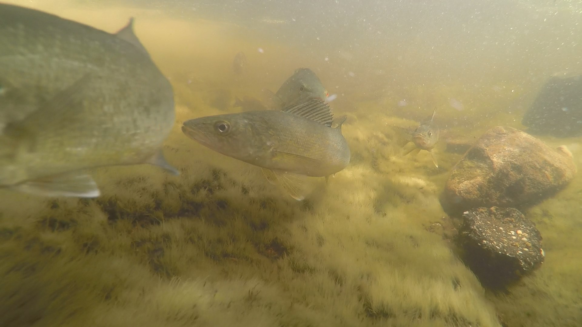 Stalking sturgeon, tracking trout: acoustic telemetry reveals fish on the move!