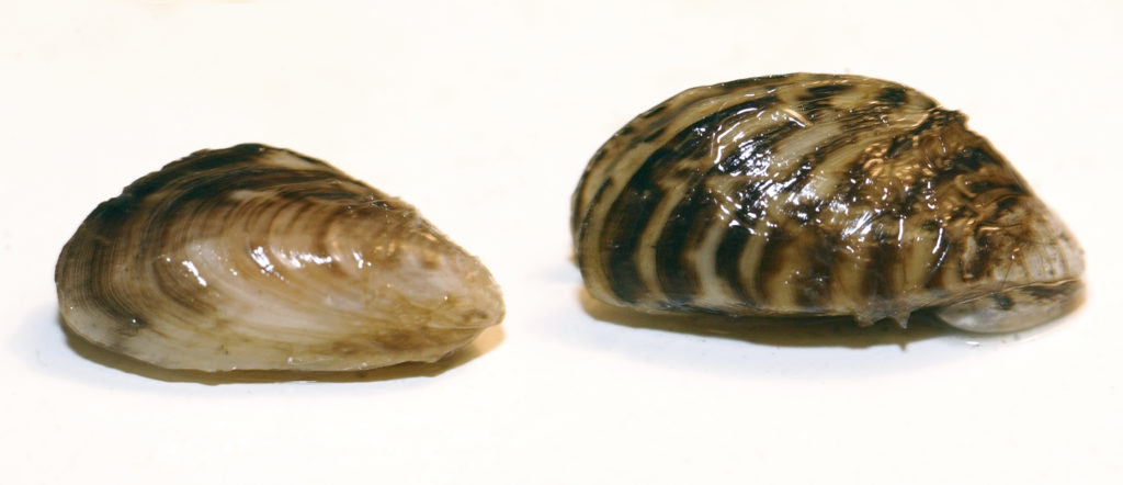 Quagga and Zebra mussels
