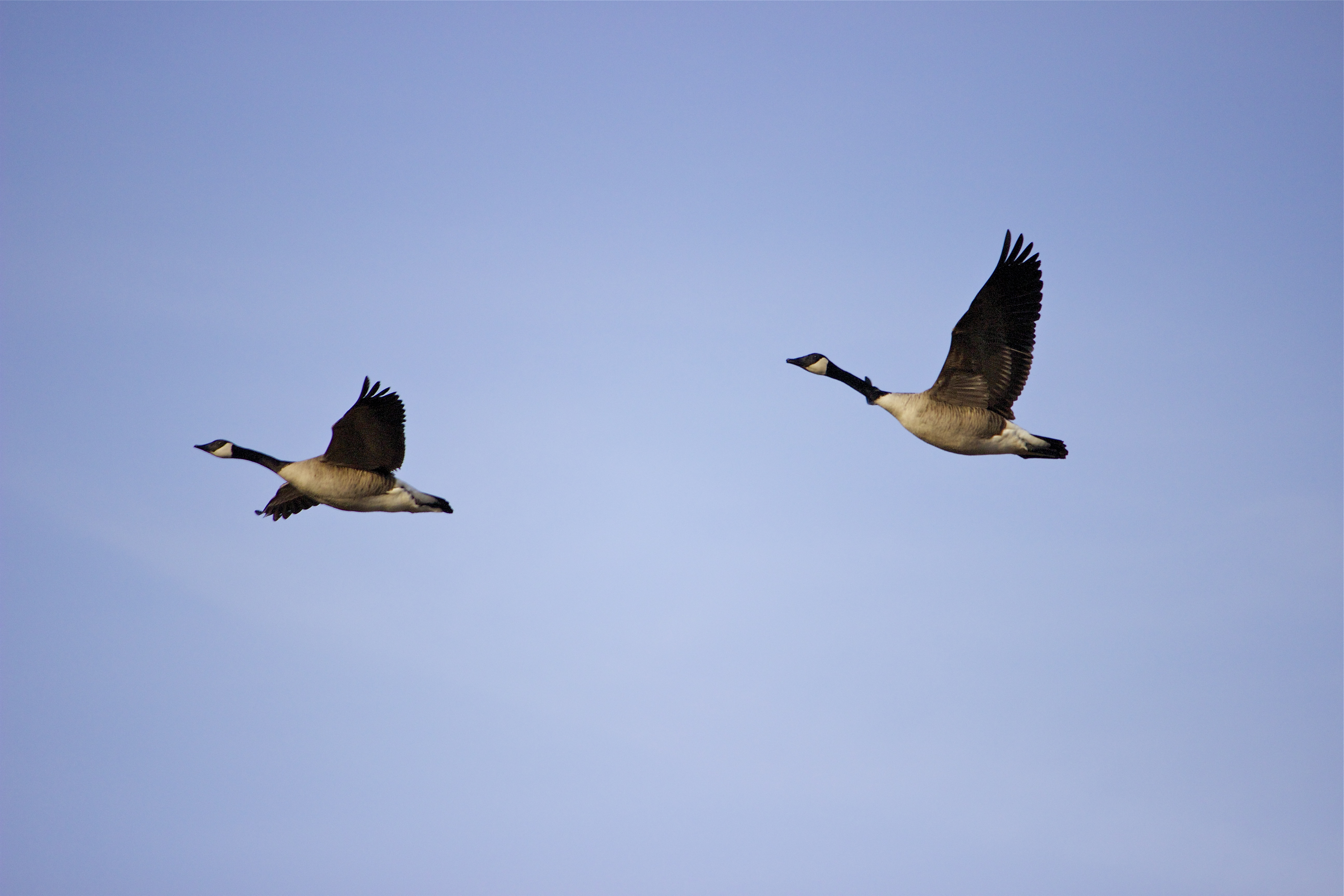 Canadian geese (Branta canadensis)