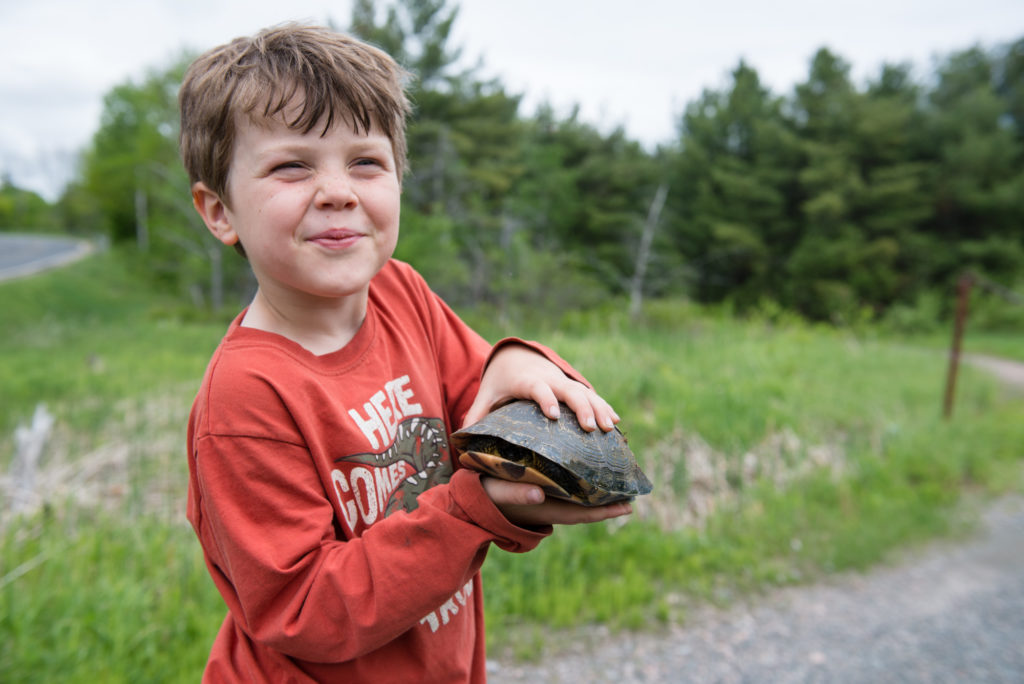 Helping a Blandings Turtle cross the road Meg Wallace Photography