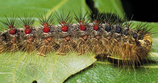 The Very Hungry (LDD Moth) Caterpillar