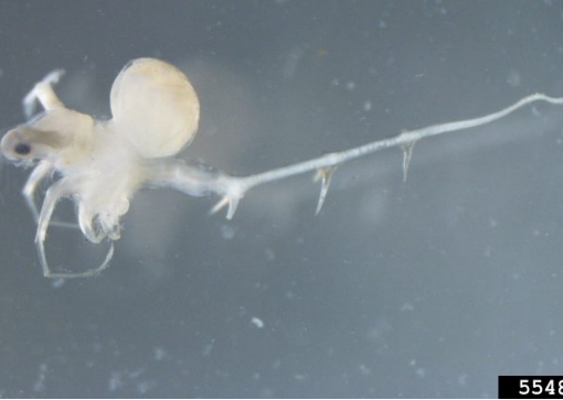 The Spiny Water Flea: The Tiny Zooplankton Creating Big Problems
