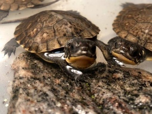 Turtles in Trouble & How You Can Help